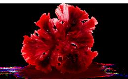 Экстракт водоросли порфира